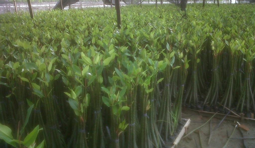 jual bibit mangrove