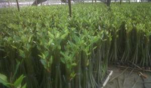 manfaat tanaman mangrove