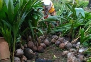 Jual bibit kelapa hibrida