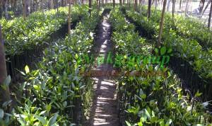 mangrove bakau